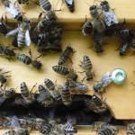 Bienenkamera